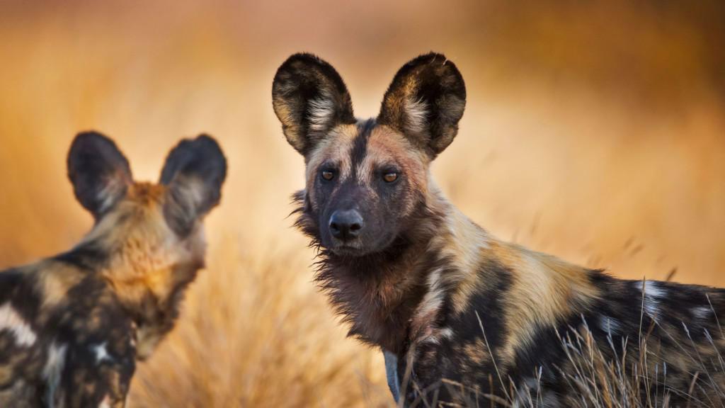 Гиеновидные собаки: описание породы с фото, содержание в домашних условиях