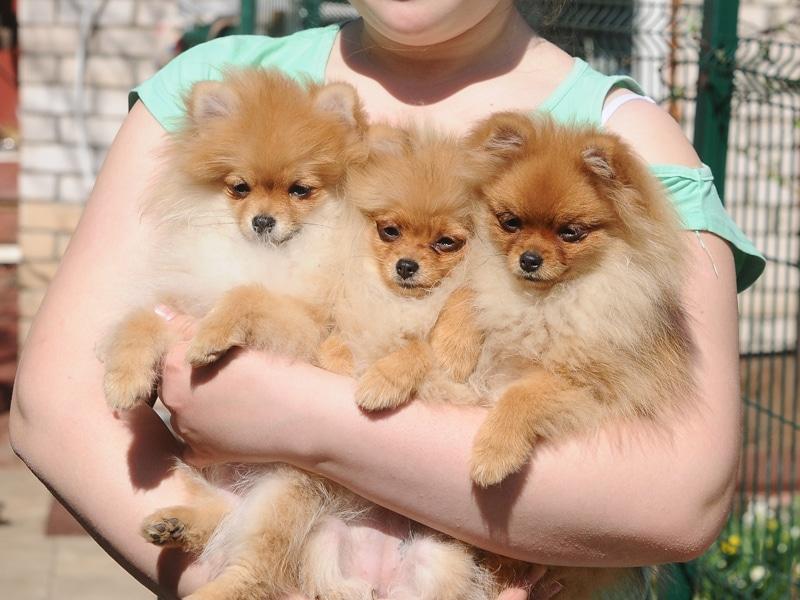 Гипоаллергенные породы собак Топ-30 собак для аллергиков и астматиков 4