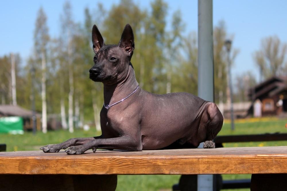 Гипоаллергенные породы собак Топ-30 собак для аллергиков и астматиков 6