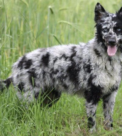 Муди: стандарт породы с фото, характер собаки, особенности содержания венгерского пастушьего пса