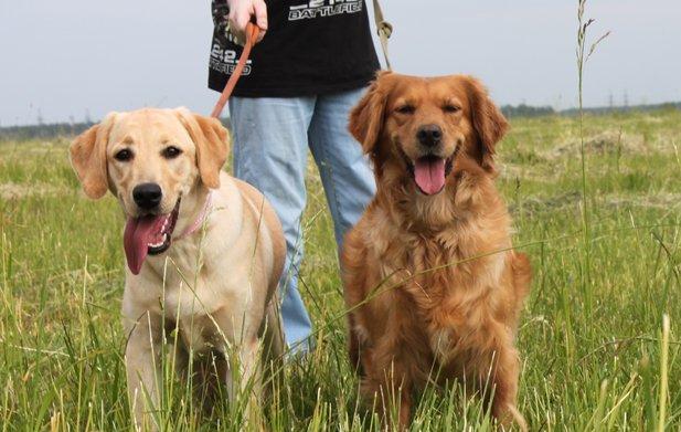 Ретривер золотистый и лабрадор: в чем разница между породами, какую собаку лучше выбрать?