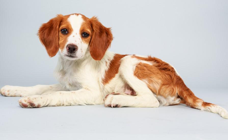 Описание бретонского эпаньоля с фото: внешний вид и характер собаки, рекомендации по уходу