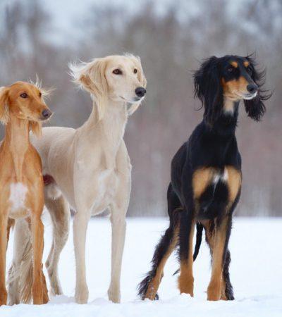 Короткошерстные и гладкошерстные породы собак: маленькие, средних размеров и большие с фотографиями и названиями