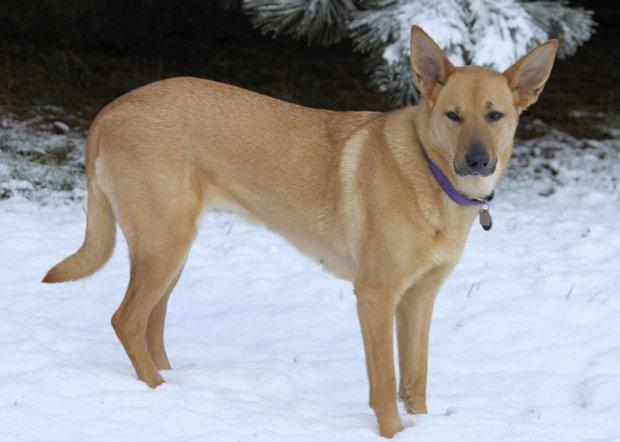 Собака чинук: особенности породы, фото, рекомендации по уходу и содержанию