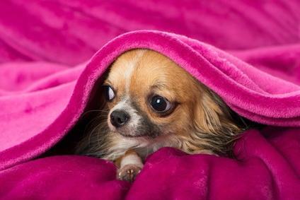Собаки, у которых выпадают глаза: представители каких пород сталкиваются с данной проблемой?