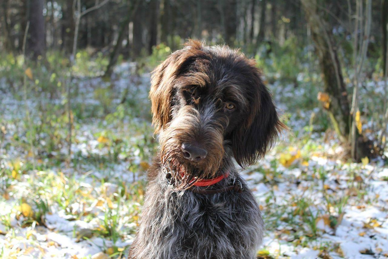 Дратхаар собака фото щенки
