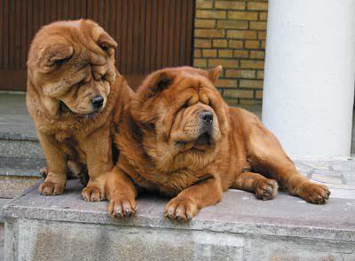 Описание породы короткошерстного чау-чау смуфа с фото, особенности содержания гладкошерстной собаки