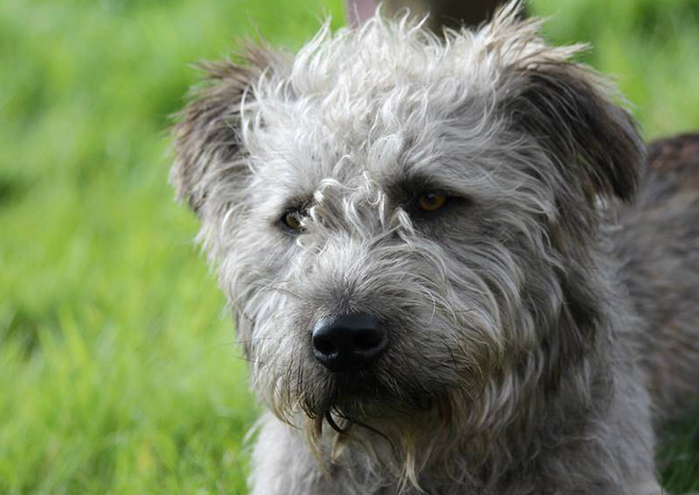 картинки собак разновидность терьеров