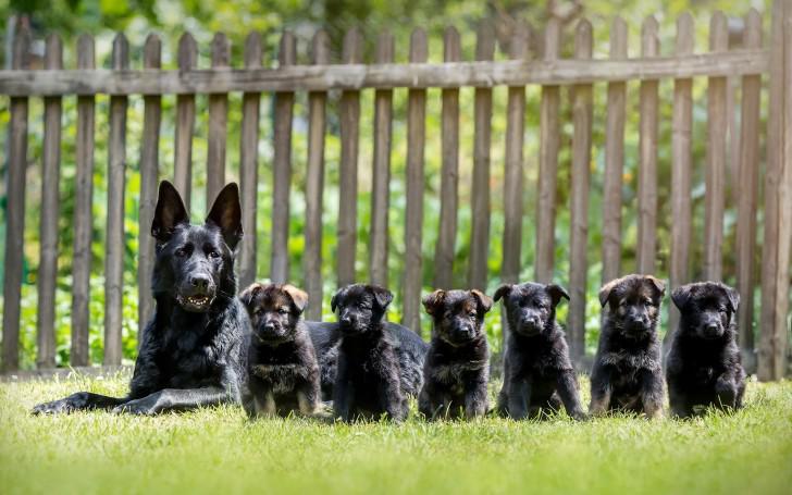 Овчарка со щенками