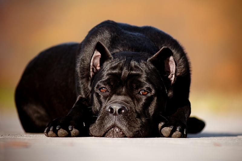 Все о молоссах: какие породы собак относятся к данной группе, каковы их особенности?