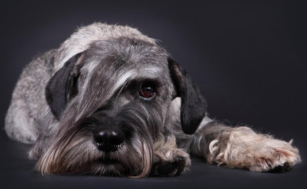 Миттельшнауцер: описание вида породы «шнауцер» с фото в соответствии со стандартом, окрас собаки и особенности характера