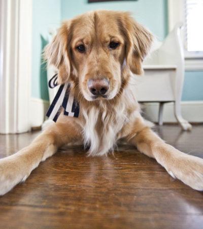 Рейтинг пород собак для квартиры: описания лучших домашних животных с фотографиями