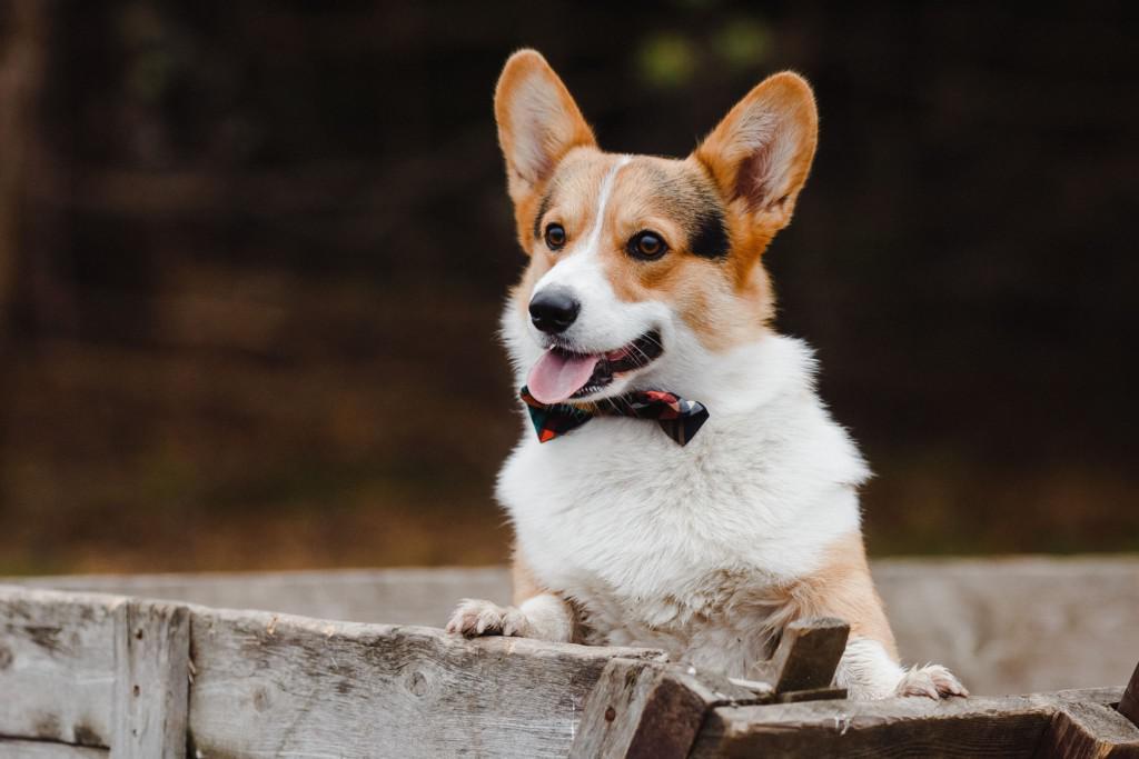 Описание породы вельш корги с фото: разновидности пемброк и кардиган, внешний вид и характер собак