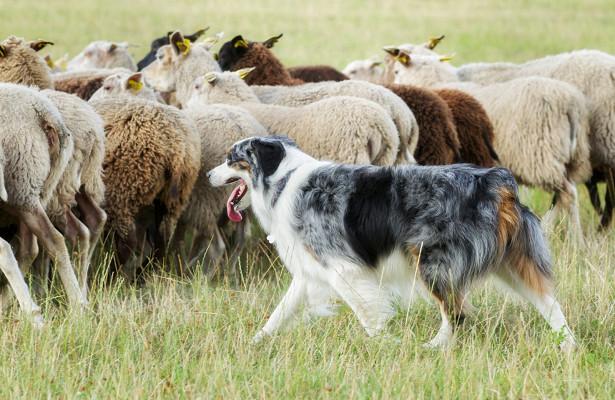 Породы пастушьих собак с фотографиями и названиями: шотландская, английская, французская и другие