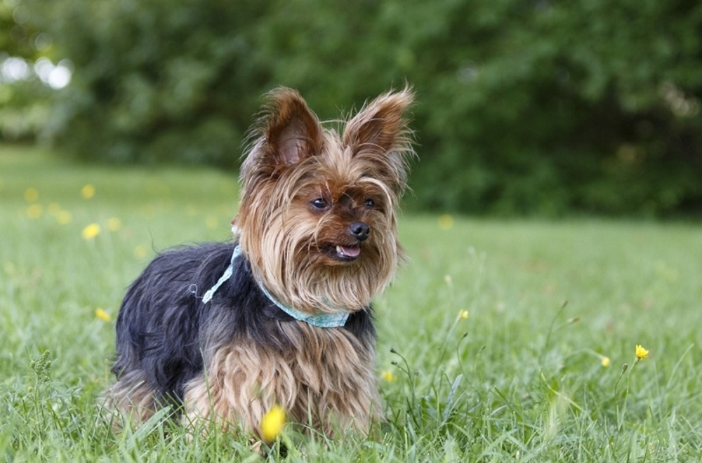 Кашель у собак: какой бывает, причины, лечение 1