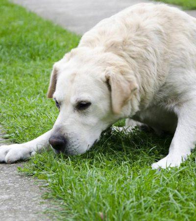 Что делать, если собаку тошнит и рвет белой или желтой пеной, каким должно быть лечение в домашних условиях?