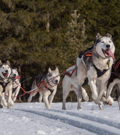 Ездовые псы: самые популярные породы собак с названиями и фотографиями