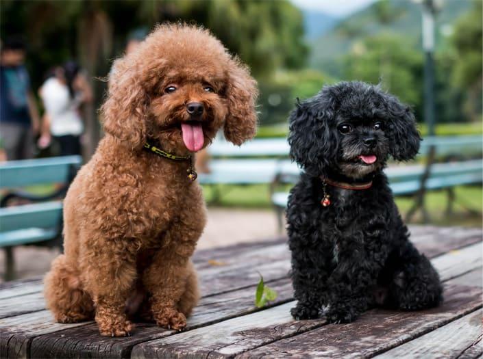 Описание той-пуделя с фото: особенности породы, плюсы и минусы собаки, рекомендации по выбору щенка