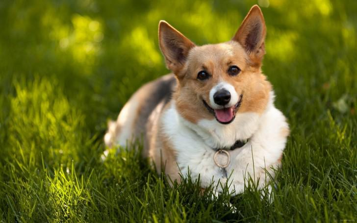 Вельш корги пемброк: фото, описание и стандарт породы, цена собаки