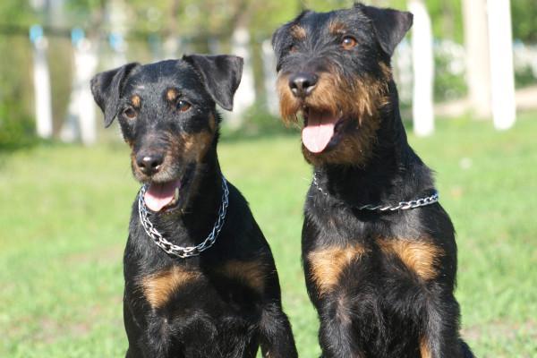Описание и характеристика ягдтерьера с фото, особенности содержания немецкого охотничьего терьера и ухода за собакой