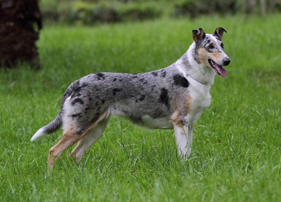 Описание и фото короткошерстного колли, характер гладкошерстной шотландской овчарки, содержание собаки и уход за ней
