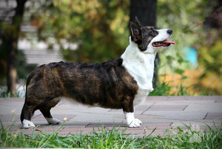 Вельш корги кардиган: стандарт и описание собаки с фото, отличия от породы пемброк