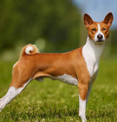 Какие собаки не умеют лаять: породы нелающих или мало лающих псов с описанием и фото