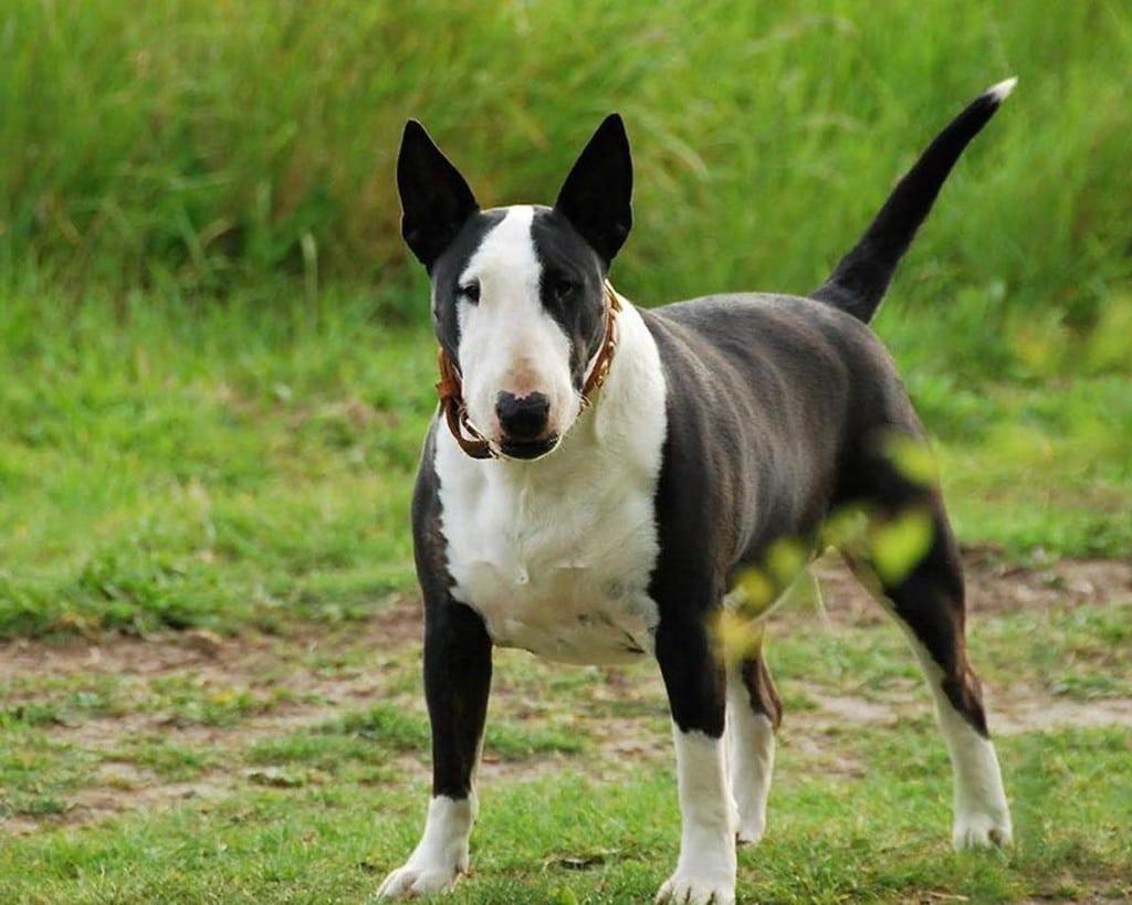 Собаки бультерьер картинки