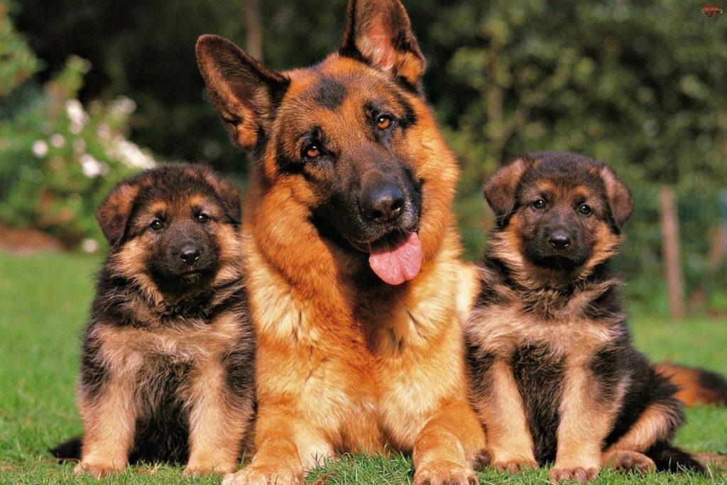 призыв картинки про собак овчарок маленьких что опознать его