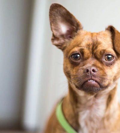 Почему мухи кусают собаке уши до крови, что делать, каким средством обработать в домашних условиях?