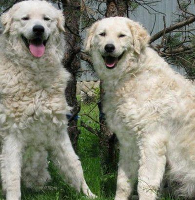 Описание венгерского куваса: особенности породы, правила ухода за собакой, цены на щенков