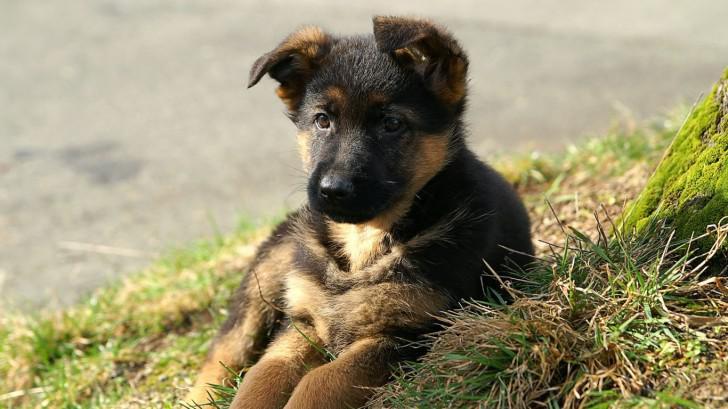Когда и какие прививки нужно делать щенку немецкой овчарки?