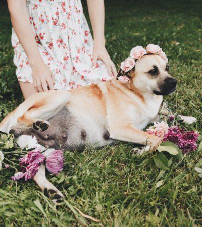 Сколько месяцев собаки вынашивают щенков, как долго длится беременность у сук разных пород, от чего зависит этот срок?