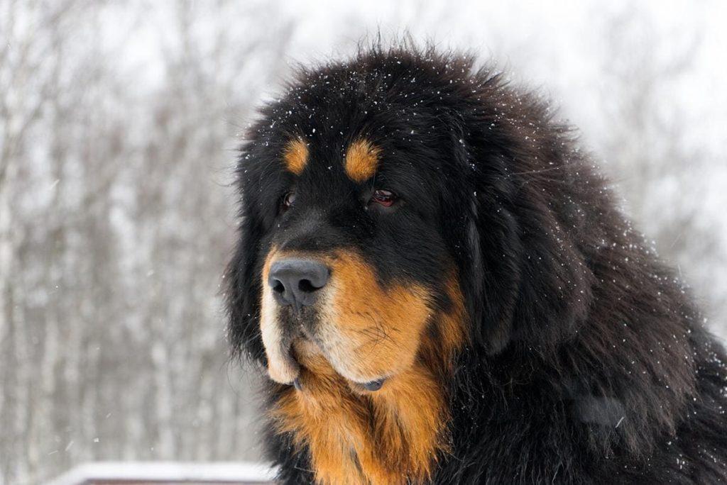 Описание самых редких в мире и необычных пород собак с названиями и фотографиями