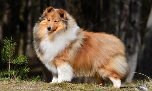 Шелти: внешний вид собаки с фото и другие характеристики по стандарту породы, особенности ухода и разведения