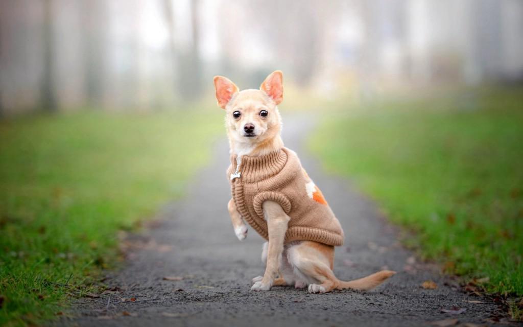 Породы декоративных собак маленьких размеров с фото и названиями, карманных и комнатных, гладкошерстных и пушистых