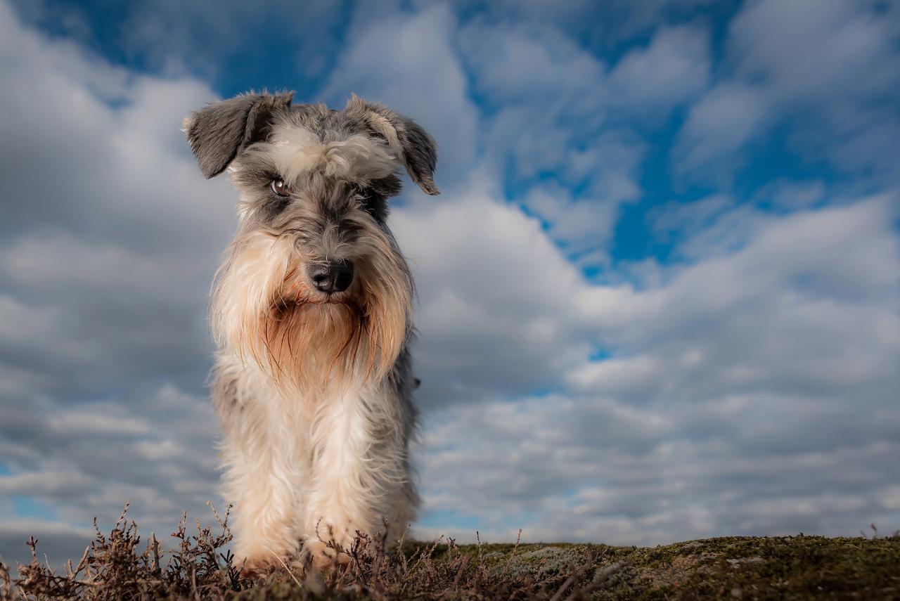 Цвергшнауцер и его особенности: описание внешнего вида собаки с фото и другие характеристики породы, уход и разведение