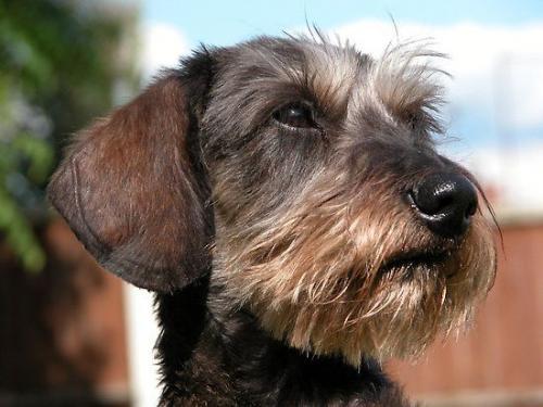 Породы жесткошерстных собак: фокстерьер, ягдтерьер, немецкая легавая дратхаар и другие