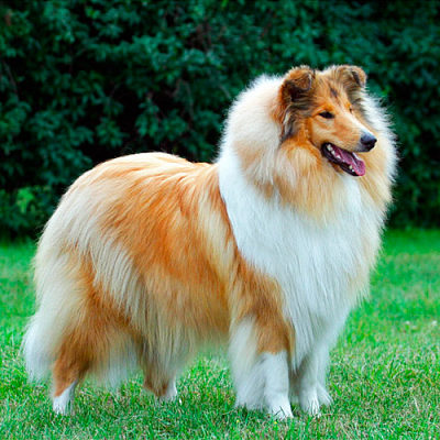 Породы длинношерстных псов с фото и названиями, особенности содержания собак с длинной шерстью