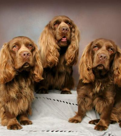 Описание суссекс-спаниеля с фото, особенности породы, рекомендации по выбору щенка и содержанию собаки
