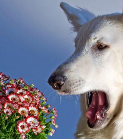Симптомы аллергии у собак с фото проявлений, лечение антигистаминными препаратами в домашних условиях