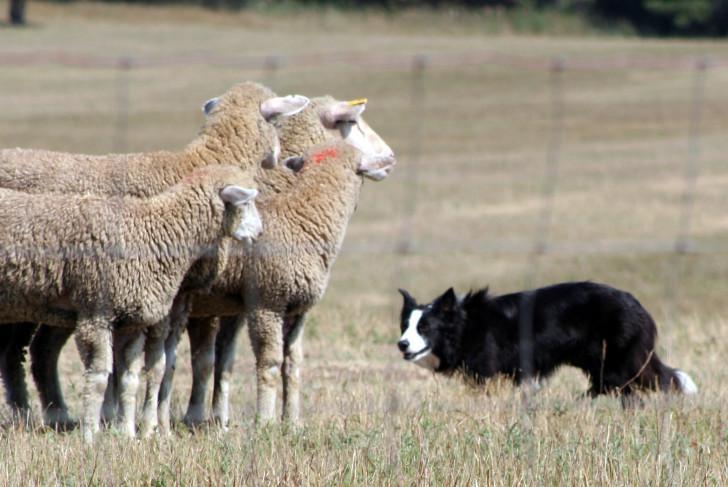 Колли стережет овец