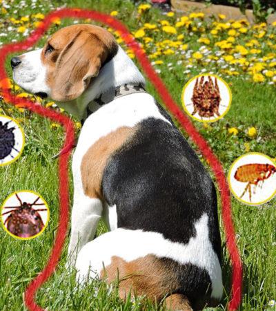 Как в домашних условиях вывести блох и клещей у собаки: эффективные средства – капли, мази, спреи – и народные способы