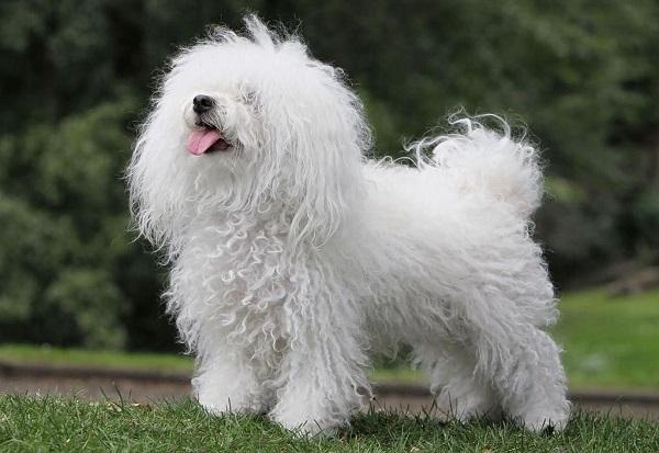 Болоньез: фото, описание внешнего вида собаки по стандарту породы, особенности ухода за итальянской болонкой