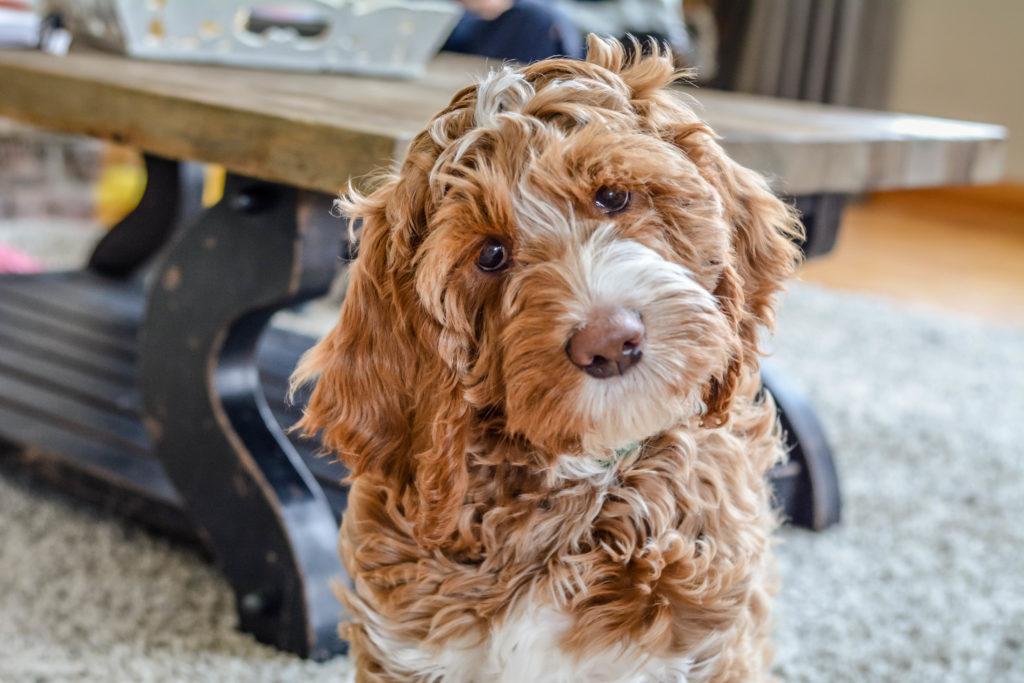Австралийский лабрадудль: описание стандарта породы, фото, правила ухода за собакой
