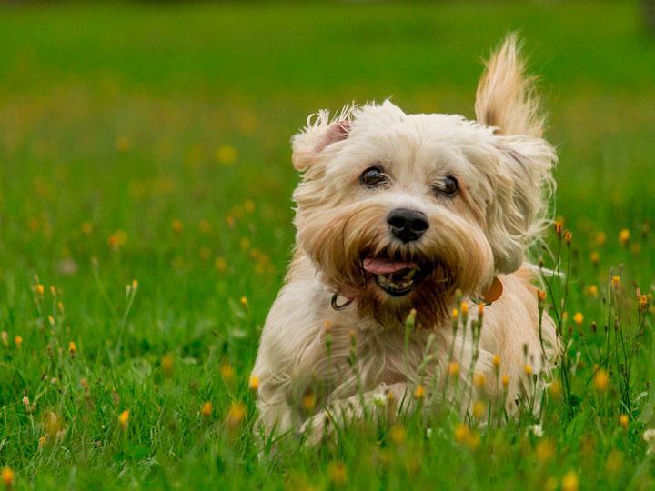 Уход за денди-динмонт-терьером, описание породы и внешний вид собаки с фото