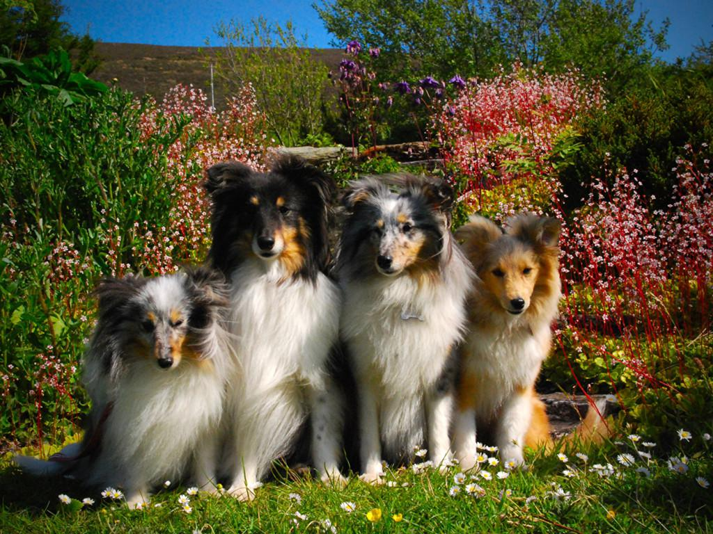 Порода собаки колли картинка