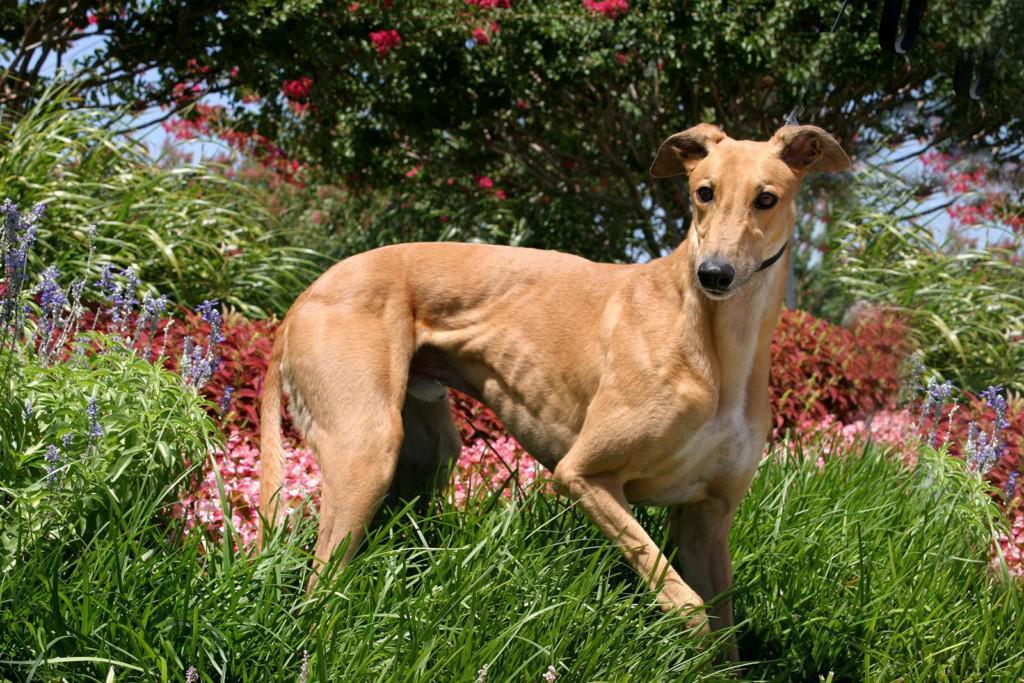 Описание породы грейхаунд: внешний вид собаки с фото, особенности ухода и разведения