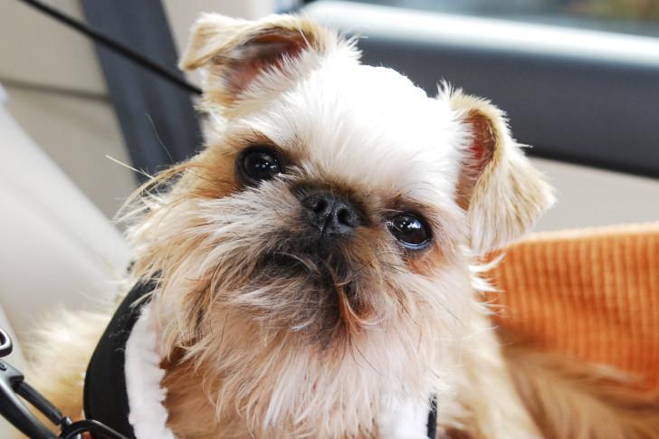 Брюссельский гриффон (бельгийский): стандарт породы, содержание и уход за собакой