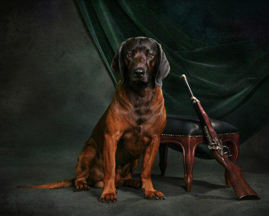Описание баварской горной гончей с фото: внешний вид и характер собаки, рекомендации по уходу